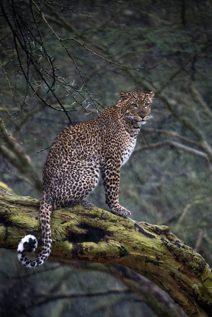Leopard in the rain