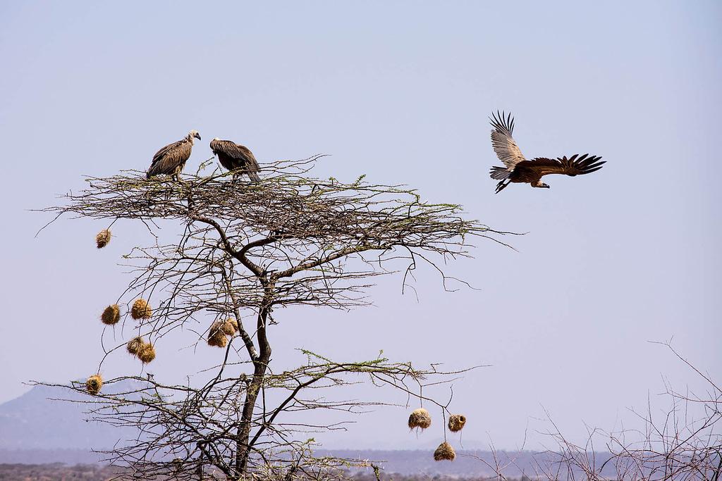 Vulture taking flight