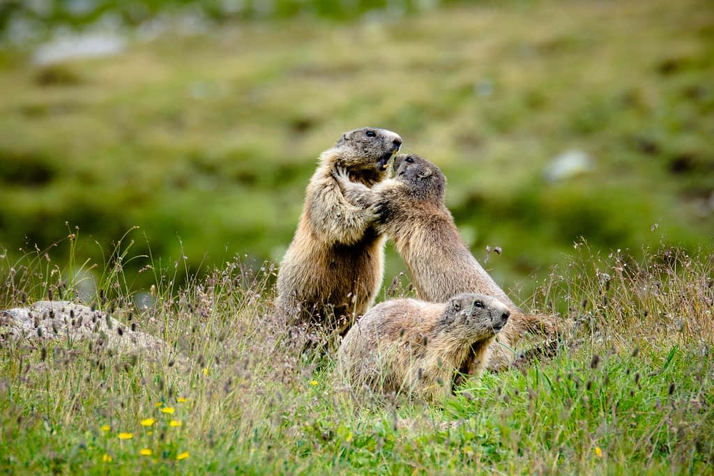 Arguing marmots