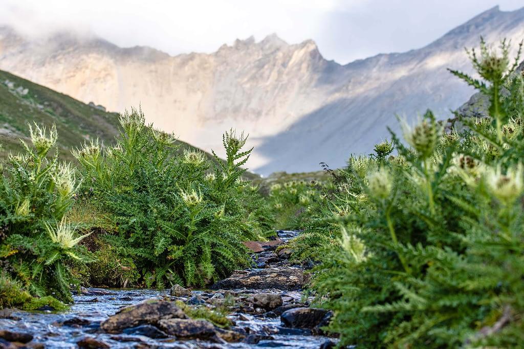 Thistles at the creek