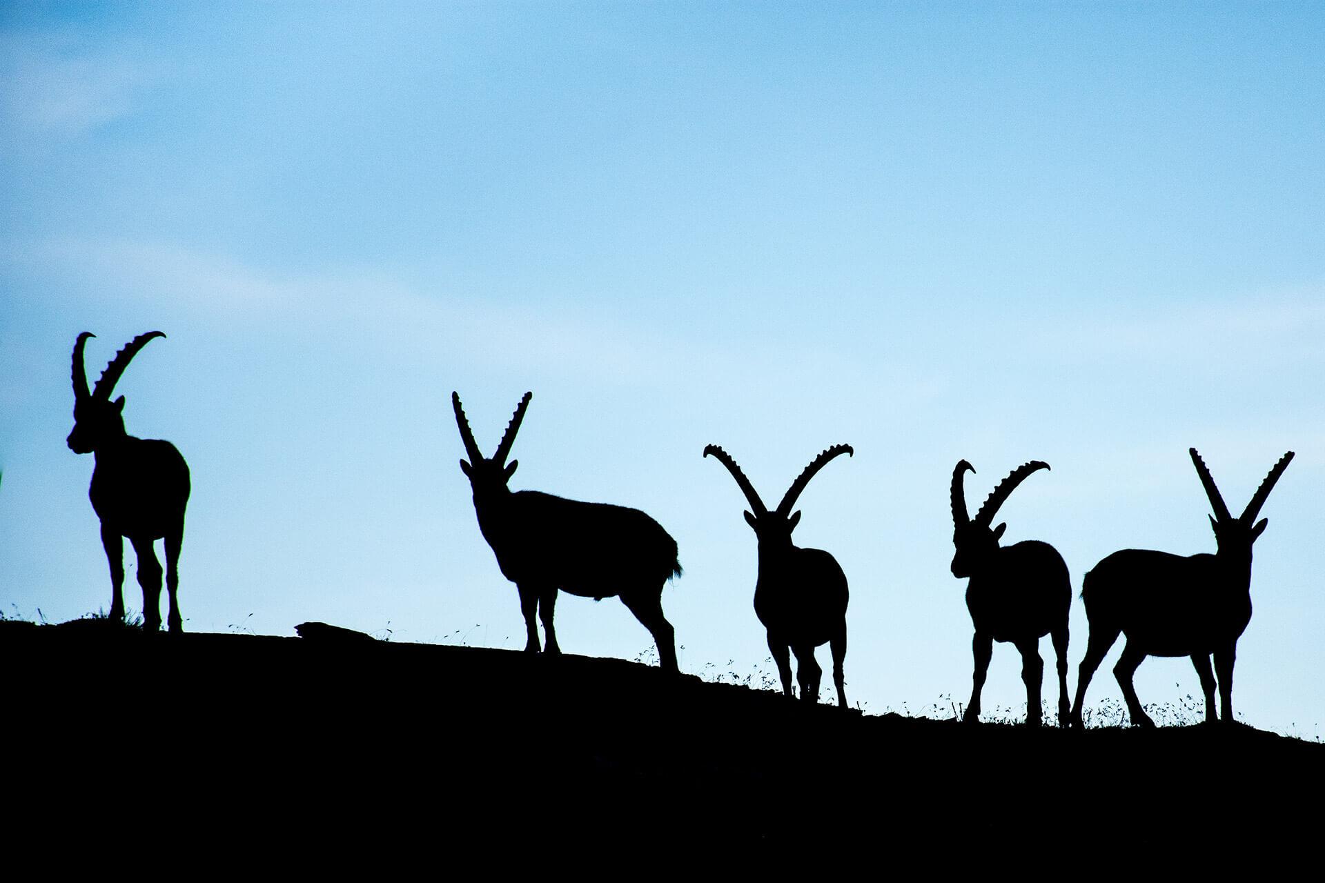 Group of ibex