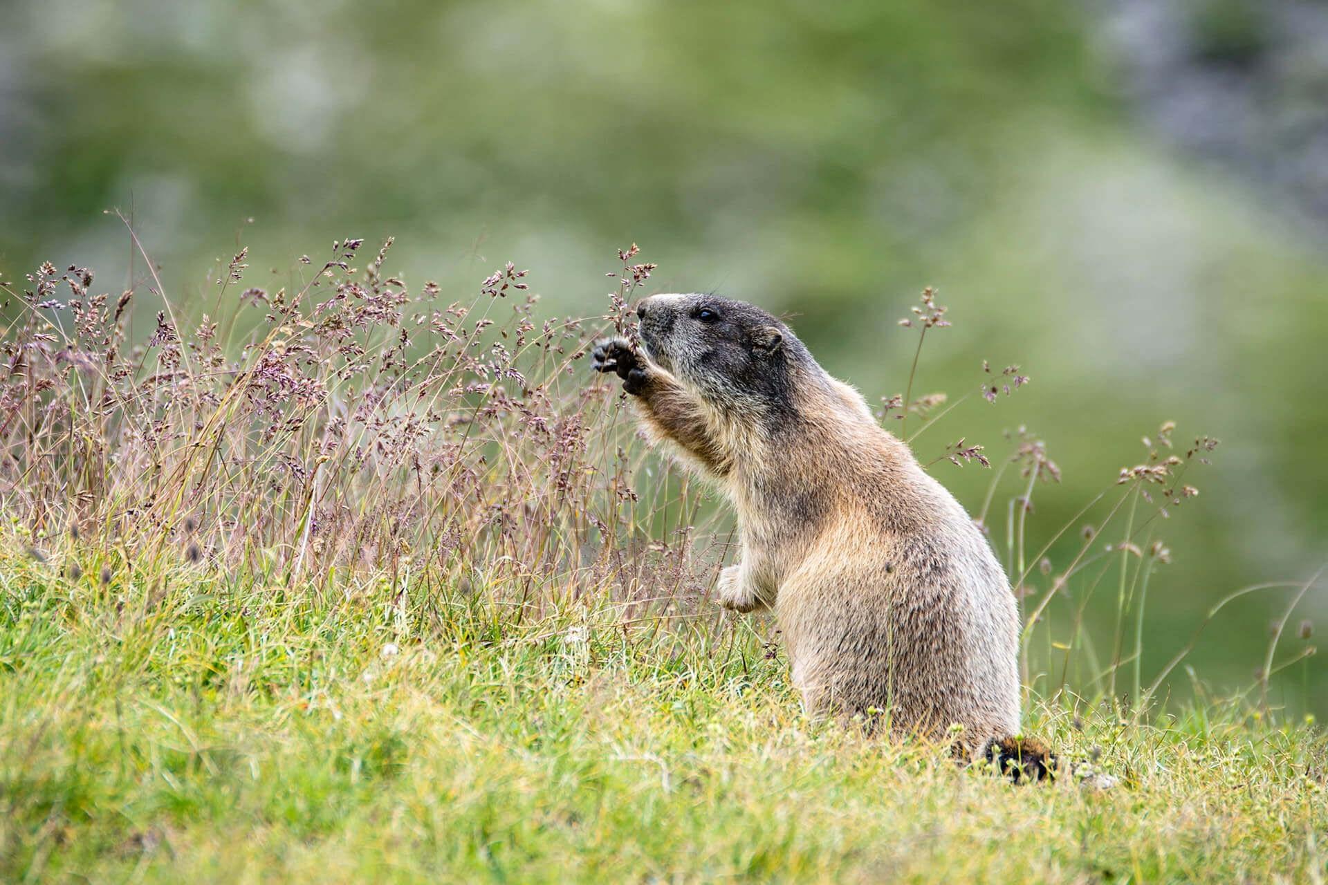 Grazing marmot